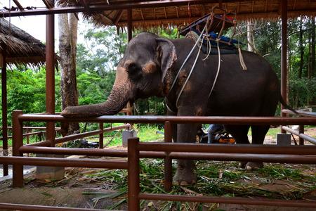 turism: Elephant posing elegance turism in Ko Samui, Thailand