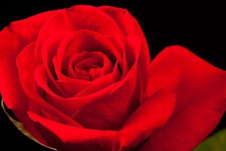 Close up of beautiful red rose isolated on black background