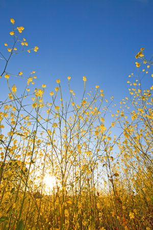 Yellow flowers of mustard plants against a blue sky with the sun rising above the horizon