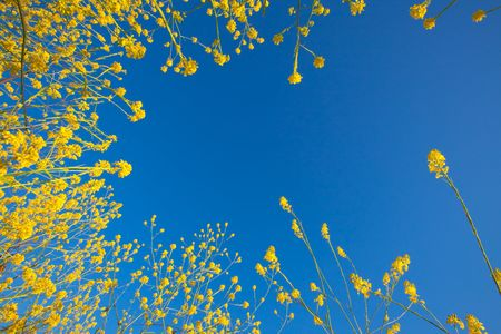Yellow flowers of mustard plants rising into a blue sky