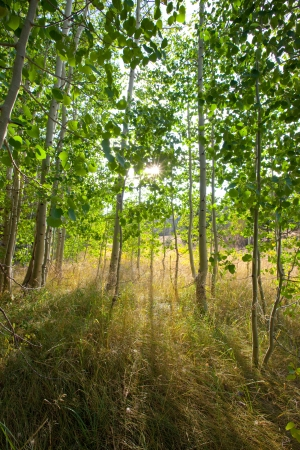 Scenic, forest scene of a stand of aspens at the edge of a meadow with early evening sunlight Stock Photo