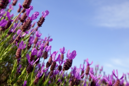 Beautiful close up of a field of lavender flowers with the blue sky in the background. Soft focus background with room for copy.