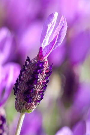 Beautiful close up of a lavender flower. Soft focus background with room for copy.