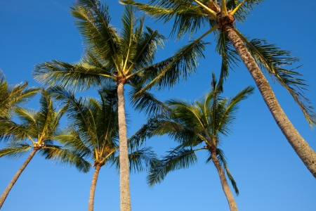 A group of palm trees, viewed from below, in the morning sunlight against a cloudless blue sky Stock Photo