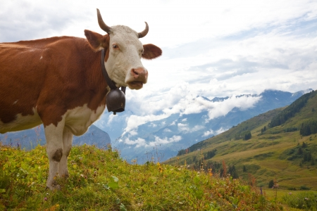 Brown milk cow overlooking beautiful vista on meadow in the European Alps photo