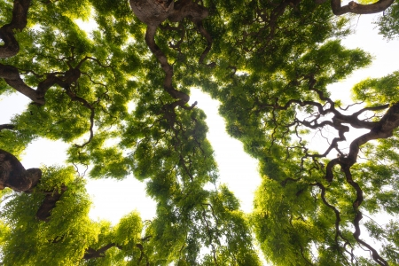 Beautiful, view up into the canopy of a very large, impressive elm tree  Long, twisted, gnarled branches reach up into the sky to present the gentle clusters of the green leaves  Stock Photo