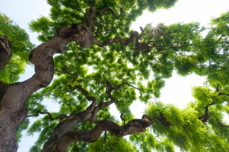 Beautiful, view up into the canopy of a very large, impressive, majestic elm tree  Long, twisted, gnarled branches reach up into the sky to present the gentle clusters of the green leaves