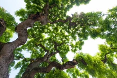 Hermosa, ver arriba en el dosel de un impresionante y majestuoso árbol muy grande olmo largo, torcido, ramas nudosas llegar al cielo para presentar los grupos suaves de las hojas verdes Foto de archivo - 20676587