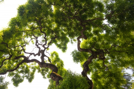 tree canopy: Beautiful, view up into the canopy of a very large, impressive elm tree  Long, twisted, gnarled branches reach up into the sky to present the gentle clusters of the green leaves  Stock Photo