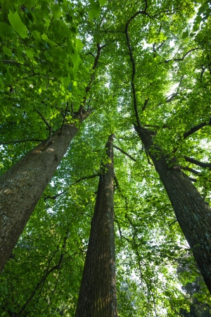 Peaceful, serene forest scene in the shade at the base of large, tall tulip trees, with green deciduous leaves. The view is straight up into the crowns of these majestic trees. Stock Photo