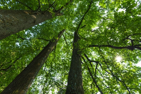 Peaceful, serene forest scene in the shade at the base of large, tall tulip trees, with green deciduous leaves. The view is straight up into the crowns of these majestic trees. The sun is peeking through the leaves.