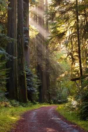 Beautiful scene of lightly traveled gravel road, curving through a green, moist, pristine redwood forest  rays of sunlight filter through a tall grove of redwood trees  Vertical format