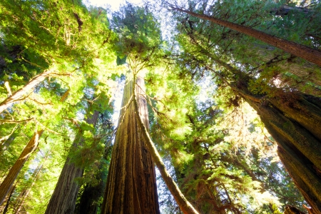 Looking up into a grove of old growth, majestic redwood trees bathed in sunlight
