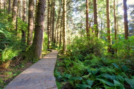 Beautiful scene of raised wood panel path through a redwood forest in the late afternoon sunshine  Hiking walkway curves through redwood trees, green ferns, bushes and understory broad leaved foliage and bushes