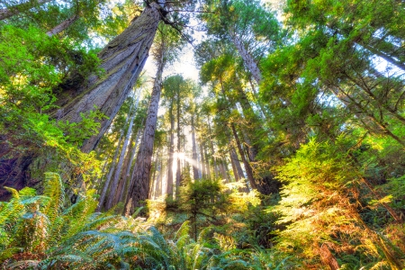 Peaceful, beautiful, early morning scene in pristine old growth redwood forest  The sun is filtering through the tall, Sequoia tree trunks and bathing parts of the forest canopy and undergrowth in warm, bright sunlight