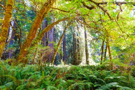 Dark green ferns and the canopy of deciduous trees representing the understory in an old growth redwood forest  Afternoon sunlight adds warmth and highlights the color of all the foliage  Stock Photo
