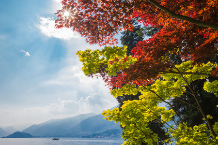 Two colorful maples trees, one with green, the other with red leaves overlook lake Como in Northen Italy  The sun can be seen streaming through red maple leaves in the afternoon sunshine