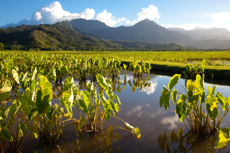Taro fields in standing water in late afternoon sunshine on the island of Kauai. Hills and mountains in the background under a blue sky with a few white clouds. Horizontal layout.