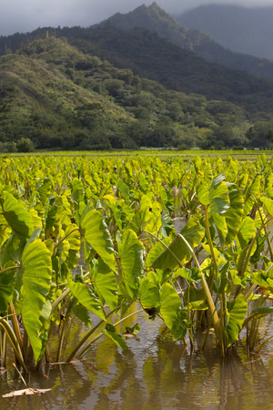 Vibrant green taro plant fields in standing water basins in afternoon sunshine on the island of Kauai. Hills and mountains in the background under a cloudy sky. Vertical format. Stock Photo