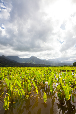 Taro plants in field of standing water on the island of Kauai. Hills and mountains in the background under a mixed cloudy sky. Dynamic, dramatic, yet serene agricultural scene on lush tropical island. Stock Photo
