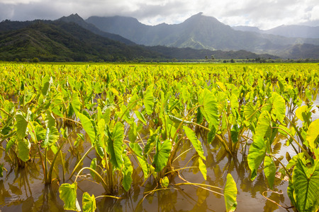 Taro plants in field of standing water in afternoon sunshine on the island of Kauai. Hills and mountains in the background under a cloudy sky. Stock Photo