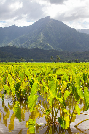 Taro fields in standing water in afternoon sunshine on the island of Kauai. Hills and mountains in the background under a cloudy sky. Vertical. Stock Photo