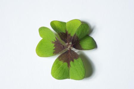 cloverleaf: 4 leaf cloverleaf as concept of luck Stock Photo