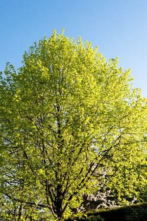 linden tree: green linden tree during evening in the sunlight