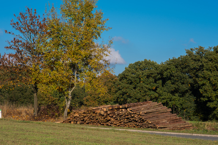 felled: Tree in autumn with felled tree trunks against a blue sky Stock Photo