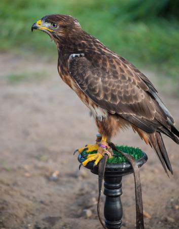 young wild buzzard concentrates on his seat Banco de Imagens - 85407095