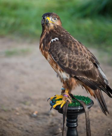 young wild buzzard concentrates on his seat Banco de Imagens - 85338861