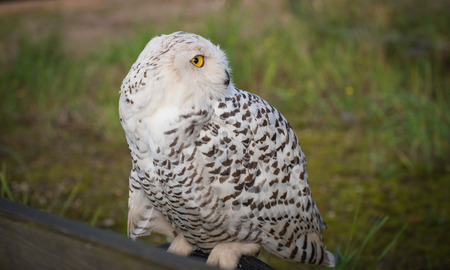 falconry: Snow owl in falconry looking for prey
