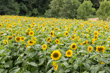 Field with ripe sunflowers at the forest edge Stock Photo