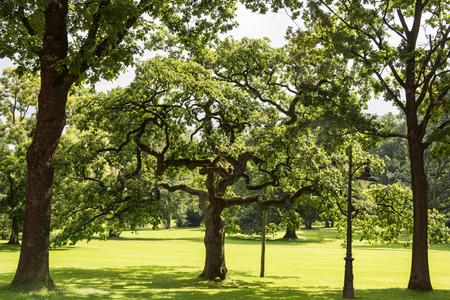 gnarled oak in the evening sun in a park