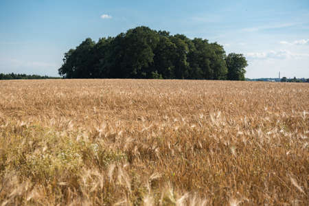 Barley field in the sun with ripe ears and trees