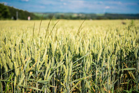 Rye field in the countryside in the sun