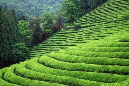 chinese herbs: Tea plantation in South East Asia Stock Photo