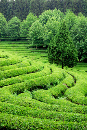 south east asia: Tea plantation in South East Asia Stock Photo