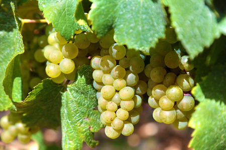 chardonnay: Chardonnay grapes for white wine growing in a vineyard in the Burgundy region of France