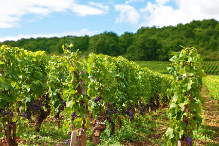 wineries: Typical red wine vineyard in France