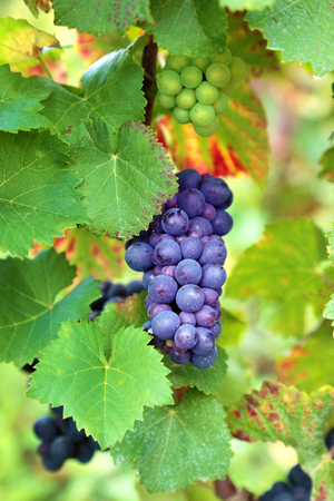 grape fruit: Red wine grapes growing in a vineyard in the Burgundy region of France Stock Photo