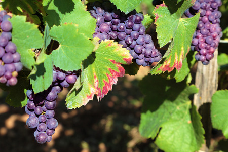 Red wine grapes growing in a vineyard in the Burgundy region of France Imagens