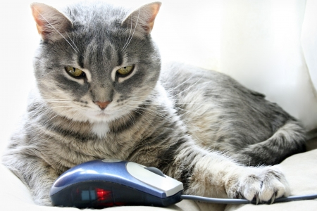 Grey tabby cat holding computer mouse in claws Stock Photo