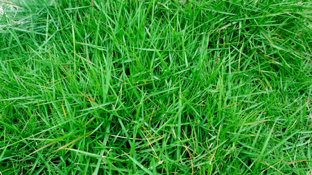 green bermuda grass