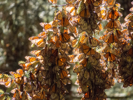 clusters: Monarch butterflies from Canada and US in their wintering grounds in Mexico Stock Photo