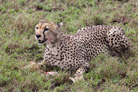 Cheetah eating meal in Serengeti National park, Tanzania Reklamní fotografie - 37245999
