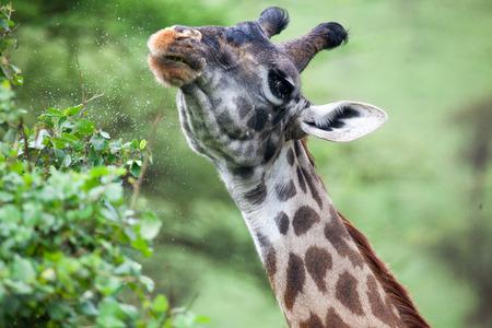 A Masai giraffe eating, East Africa