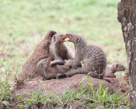 Banded mongooses on a termite mound, Serengeti National Park, Tanzania