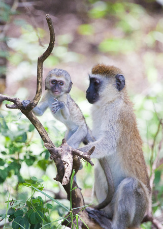 Monkey baby and mother on the tree, Tanzania Reklamní fotografie