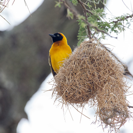 weaver bird nest: African Masked weaver sitting on a nest in Serengeti National park